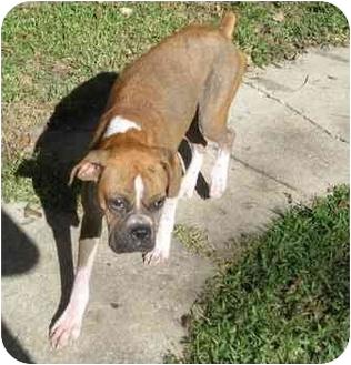 Boxer Dog for adoption in Navarre, Florida - Nessie