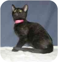 Domestic Shorthair Cat for adoption in Powell, Ohio - Cinder