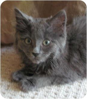 RagaMuffin Kitten for adoption in Davis, California - Mr. Magoo