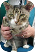 Domestic Shorthair Cat for adoption in San Diego/North County, California - ~~TOMMY~~