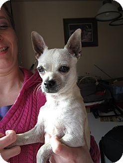 Chihuahua Mix Dog for adoption in Bellingham, Washington - Jay