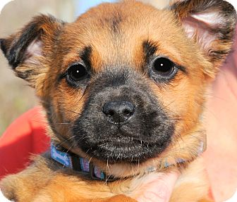 Boxer/Shepherd (Unknown Type) Mix Puppy for adoption in Wakefield, Rhode Island - MATILDA(ADORES CHILDREN!!!)