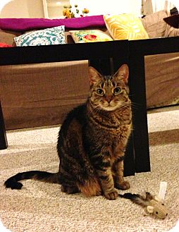 Domestic Shorthair Cat for adoption in Columbia, Maryland - Tamale