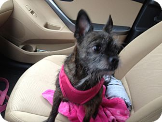 Cairn Terrier/Terrier (Unknown Type, Medium) Mix Dog for adoption in Youngstown, Ohio - Chloe