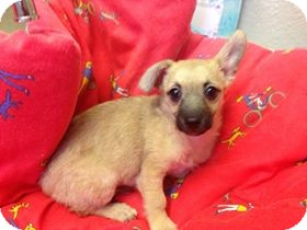 Terrier (Unknown Type, Small)/Dachshund Mix Puppy for adoption in Brea, California - Doris