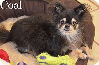 Chihuahua Dog for adoption in Metairie, Louisiana - Coal