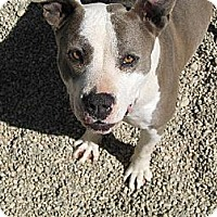 Adopt A Pet :: Ellie - Sherman Oaks, CA