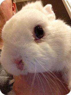 Netherland Dwarf Mix for adoption in Los Angeles, California - X2 Blue