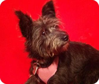 Terrier (Unknown Type, Medium) Mix Dog for adoption in Murphy, North Carolina - CiCi