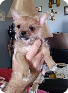 Chihuahua Mix Puppy for adoption in Chattanooga, Tennessee - Jerry