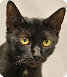 Domestic Shorthair Cat for adoption in Cary, North Carolina - Raven-Adopted