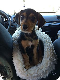Dachshund/Jack Russell Terrier Mix Puppy for adoption in Middletown, Rhode Island - Hank