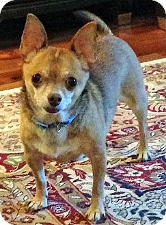 Chihuahua Dog for adoption in Mastic Beach, New York - MOUSSE !!!
