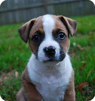 Boxer Mix Puppy for adoption in Monroe, North Carolina - Captain