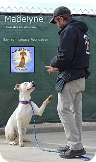 American Pit Bull Terrier/American Staffordshire Terrier Mix Dog for adoption in Las Vegas, Nevada - Maddie