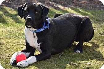 Labrador Retriever/Great Dane Mix Dog for adoption in Cooperstown, New York - Fischer
