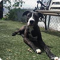 Adopt A Pet :: Kuzco - Meridian, ID