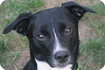 Border Collie/Terrier (Unknown Type, Small) Mix Dog for adoption in North Olmsted, Ohio - Milo