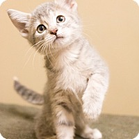 Adopt A Pet :: Appi - Chicago, IL