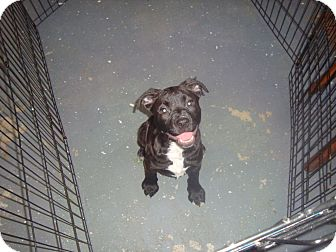 Boxer/American Staffordshire Terrier Mix Puppy for adoption in Old Bridge, New Jersey - Jenny