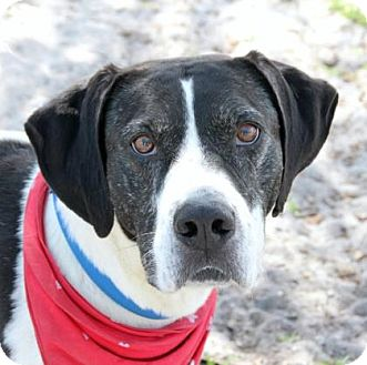 Treeing Walker Coonhound Mix Dog for adoption in Loxahatchee, Florida - Hank