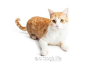 Domestic Shorthair Cat for adoption in Tempe, Arizona - Tabasco