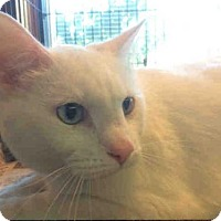American Shorthair Cat for adoption in Urbana, Illinois - OLAF