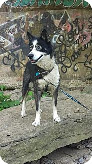 Siberian Husky Dog for adoption in Sparta, Kentucky - Fancy