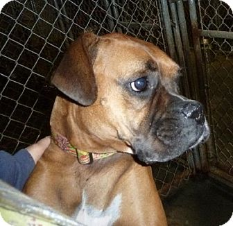 Boxer Dog for adoption in Ashland, Virginia - Greta-ADOPTED!!!