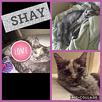 Adopt A Pet :: Shay - Indianapolis, IN