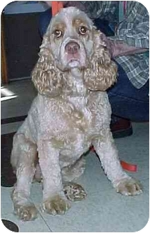 Cocker Spaniel Dog for adoption in North Judson, Indiana - Buster