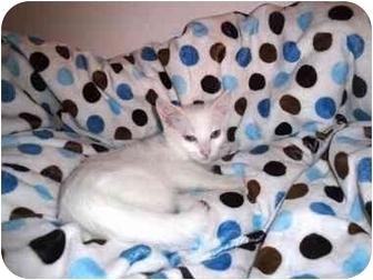 Domestic Shorthair Kitten for adoption in Irvine, California - Freckles