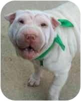 Shar Pei Dog for adoption in Genoa, Ohio - Jackie