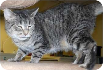 Domestic Shorthair Cat for adoption in Belvidere, Illinois - Kendra