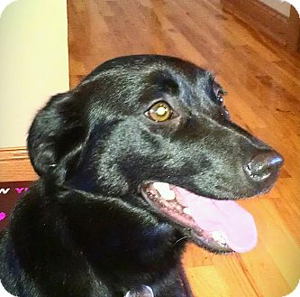 Labrador Retriever/Terrier (Unknown Type, Small) Mix Dog for adoption in New Brighton, Minnesota - Adella
