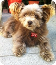 Terrier (Unknown Type, Small) Mix Dog for adoption in Encino, California - Stewart