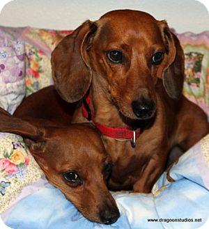 Dachshund Dog for adoption in Spokane, Washington - Annabell & Winston