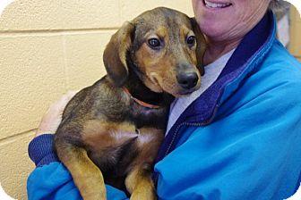 Shepherd (Unknown Type) Mix Puppy for adoption in Elyria, Ohio - Cheyenne