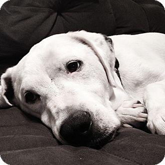 Labrador Retriever/Dalmatian Mix Dog for adoption in Los Angeles, California - Lance *VIDEO*