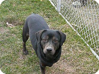 Rottweiler/Labrador Retriever Mix Dog for adoption in Liberty Center, Ohio - Theo