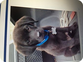Labrador Retriever Puppy for adoption in Gainesville, Georgia - Jake
