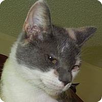 Calico Cat for adoption in Jacksonville, North Carolina - Pauline