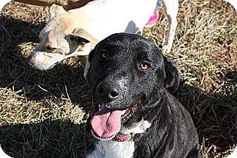 Border Collie/Labrador Retriever Mix Dog for adoption in Russellville, Kentucky - Jessie