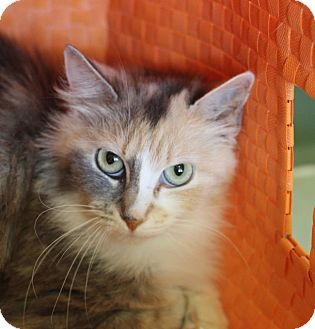 Domestic Longhair Cat for adoption in Chicago, Illinois - Prunella