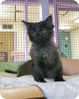 Domestic Longhair Kitten for adoption in Dover, Ohio - Zorro