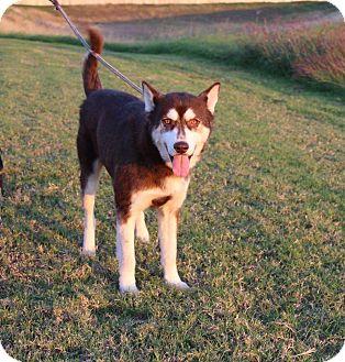 Husky Mix Dog for adoption in Seattle, Washington - Niko
