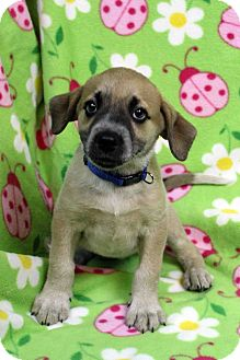 Australian Shepherd/Border Collie Mix Puppy for adoption in Westminster, Colorado - DEENA