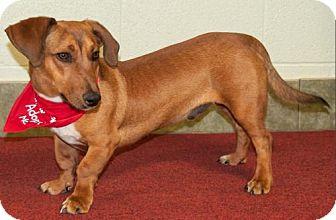 Dachshund Dog for adoption in Ada, Oklahoma - MERLIN