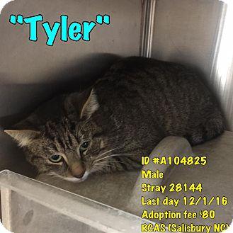 Domestic Shorthair Cat for adoption in Salisbury, North Carolina - Tyler