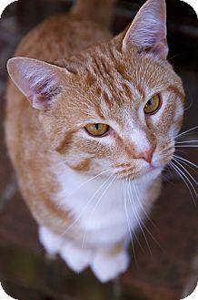 American Shorthair Cat for adoption in Allentown, Pennsylvania - Lane - $30